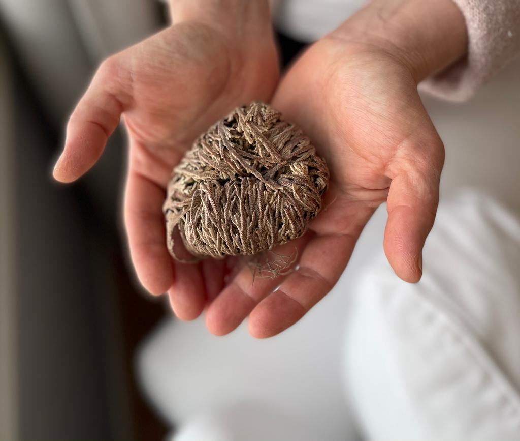 Kuolleen näköinen kasvi käsissä.